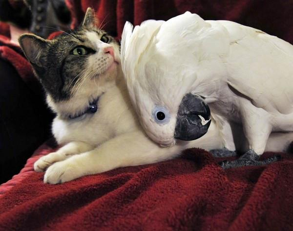 coco-cockatoo-lucky-the-cat-600x472