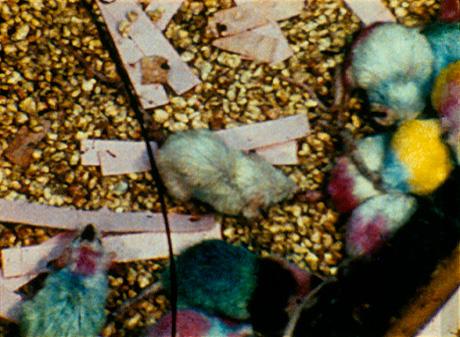Colored_mice